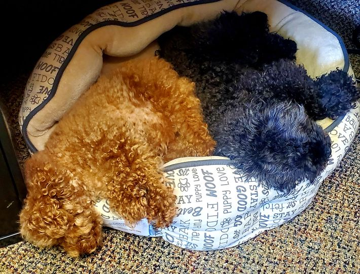 Dental therapy dogs taking a nap